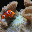 Clown fish and anemone — Stock Photo
