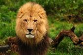 Majestic lion portrait — Stock Photo