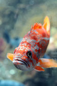 Colorful freshwater fish — Stock Photo