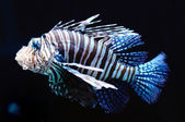 Lion fish — Stockfoto