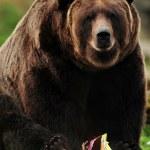 Alaskan brown bear — Stock Photo #37559061
