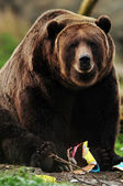 Alaskan brown bear — Foto de Stock