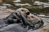 Otter Love — Foto de Stock