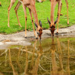 Stock Photo: Deers drinking water