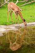 Deer drinking water — Stock Photo