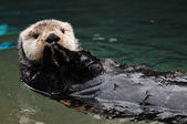 Otter greeting — Foto de Stock