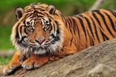 Sumatran tiger — Stok fotoğraf