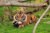 Tiger enjoying its meal — Stock Photo