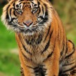 Stock Photo: Engangered Sumatrtiger portrait