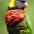 Lorikeet portrait — Stock Photo