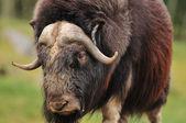 Giant musk ox — Foto Stock