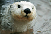 Cute white otter — Stockfoto