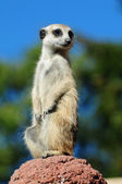 Meerkat portrait — Photo
