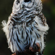 Stock Photo: Hoot Owl