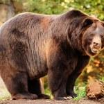 Alaskan brown bear — Stock Photo #37666367