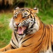 Stock Photo: Roar of a tiger