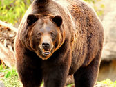 Furious bear — Stockfoto