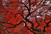 Japanese maple in autumn — Stock Photo