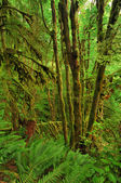 Old-growth rainforest — Stock Photo