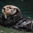 Stock Photo: Arctic seotter