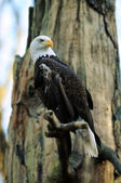 American Bald Eagle portrait — Stock Photo