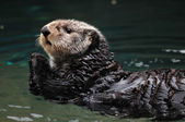 Arctic sea otter — Stock Photo