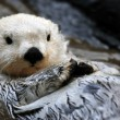 Постер, плакат: White sea otter