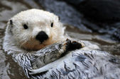 White sea otter — Stockfoto