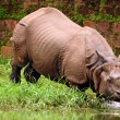 Stock Photo: Rhino bathing in river