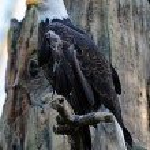 Majestic Bald eagle — Stock Photo