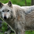 Stock Photo: Gray wolf portrait