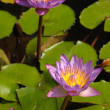Stock Photo: Lotuses in pond