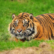 Sumatran tiger hunting — Stock Photo