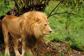 The king of the jungle — Stock fotografie
