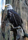Majestic Bald eagle — Foto Stock