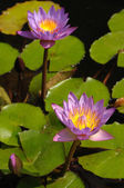 Lotuses in pond — Stock Photo
