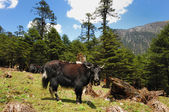 Yaks in a meadow — Stock Photo