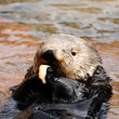 Постер, плакат: Sea otter feeding