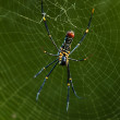 Golden orb-web spider — Stock Photo