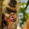 Langur monkey baby with mother — Stock Photo