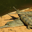 Stock Photo: Gharial mother and babies