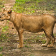Stock Photo: Asiatic Lioness