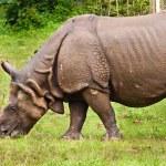 Постер, плакат: Rhino grazing