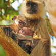 Family bond in primates — Stock Photo