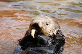 Sea otter feeding — Stock Photo