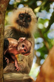 Langur monkey baby with mother — Photo