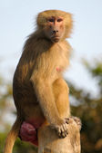 Hamadryas Baboon portrait — Stock Photo