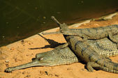 Gharial mother and babies — Stock Photo