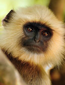 Old Langur portrait — Stock Photo
