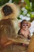 Langur mother and child — Stock Photo